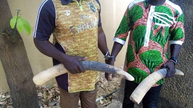 Burkina Faso: Trois trafiquants d'ivoire  condamnés à des peines de prison ferme