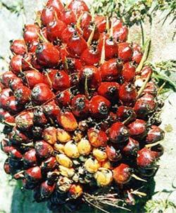 Vertus des plantes: Elaeis Guineensis (scientifique)