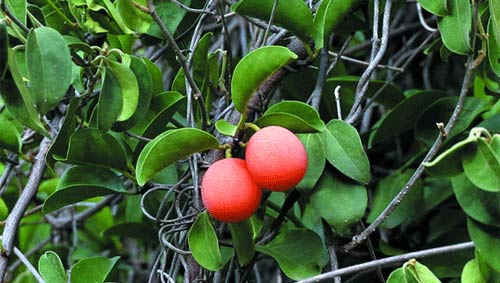 Vertus des plantes: Lengha possède des propriétés antibiotiques