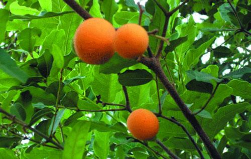 Vertus des plantes: Landolphia heudelotii a une peau dure qui renferme une très sucrée pâte filamenteuse