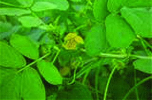 Vertus des plantes: Cassia Tora, est un aditif alimentaire