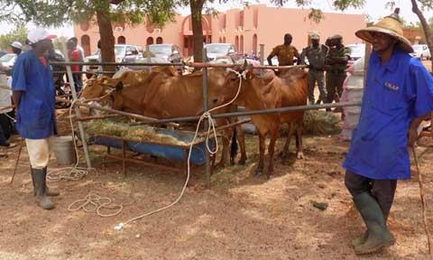 Réduction de la pauvreté au Burkina Faso: Bientôt une vache laitière dans 5000 familles