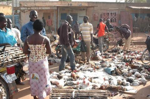 Volaille: La grippe aviaire est au Burkina