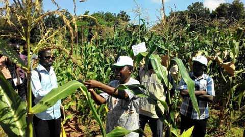 Projet maïs de l'UEMOA: Quand des chercheurs Burkinabè pourraient nourrir l'Afrique de l'ouest