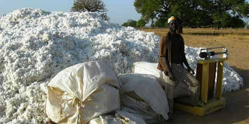 Le Burkina Faso abandonne le coton Bt transgénique