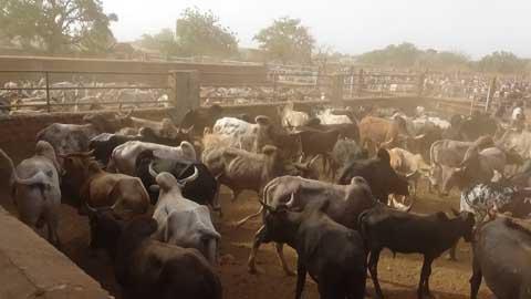 Marché international à bétail de Fada N'Gourma: Atout stratégique d'une région