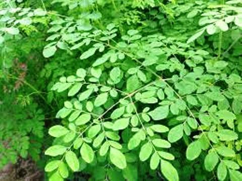 Santé: Rester jeune et vivre longtemps par les plantes