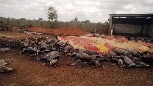 Abattage massif d'ânes: Les Yarsés interpellent le ministre des ressources animales