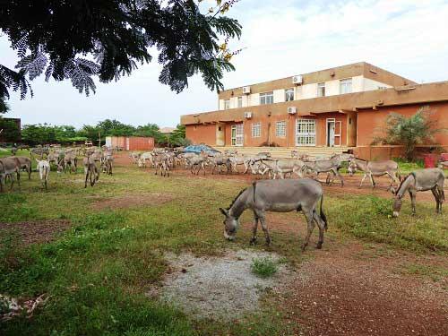 Deux camions chargés de 144 ânes arrêtés: «Nos femmes et enfants vivent de ce commerce», affirme le propriétaire des baudets!