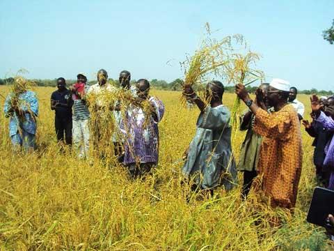 Suivi des activités agricoles 2016-2017 au Nord: La campagne de récolte du riz pluvial lancée à Namassa