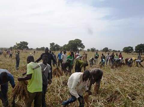 Campagne agricole 2016: Bilan satisfaisant chez l'entreprise de production  de semences «KAWORO»