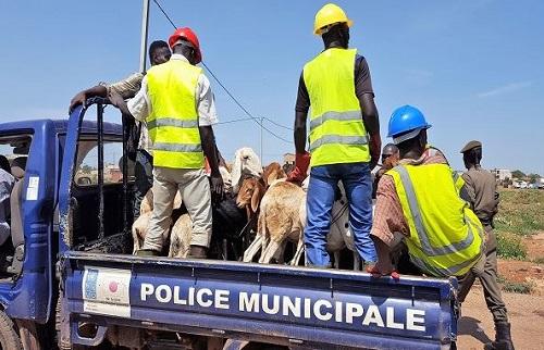 Commune de Ouagadougou: Une croisade contre la divagation des animaux