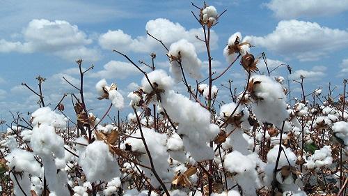 Burkina: Voici les prix d'achat du coton graine pour la campagne 2018/2019