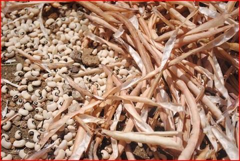 Semences génétiquement modifiées au Burkina: «La menace pèse maintenant sur le sorgho, le maïs et le niébé», selon Slow Food