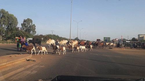 Divagation d'animaux à Ouagadougou: Les éclaircissements de l'assistant de police, Armand Somé