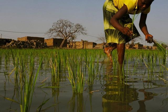 Filière riz: Un projet pour accroître les revenus de 50 000 petits producteurs dans le Centre-Est