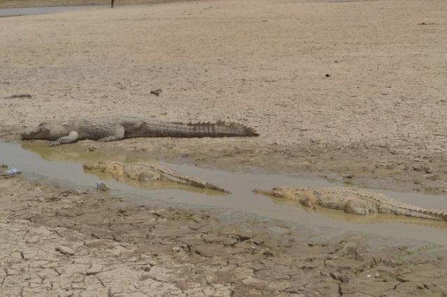Tourisme: Il faut sauver la mare aux crocodiles sacrés de Bazoulé
